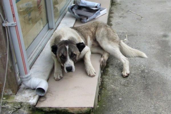 """ბათუმის მერიამ ქუჩის ძაღლების """"დაძინებაზე"""" ტენდერი გამოაცხადა"""