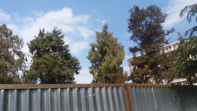 ეს ხეები, რომლებიც შემოსაზღვრულ ტერიტორიაზე იყო უკვე მოჭრილია