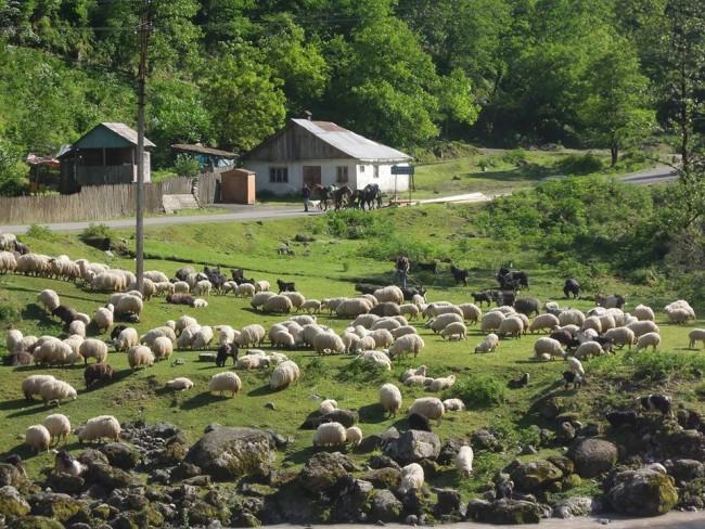 ცხვრის გადარეკვა. სოფელი ბზუბზუ.  ეკა ბარამიძის ფოტო