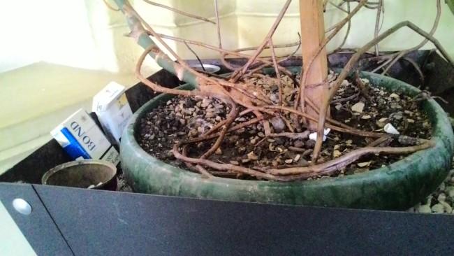 ბათუმის მერიის ცენტრალურ ფოიეში სიგარეტის კოლოფები და ნამწვავები საყვავილეში ყრია ფოტო: ია ფრანგიშვილის