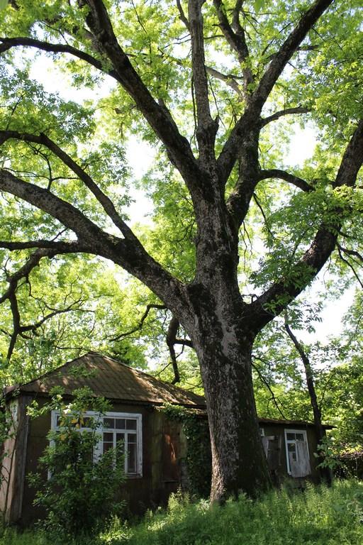 კაკლის ხე ანგისაში