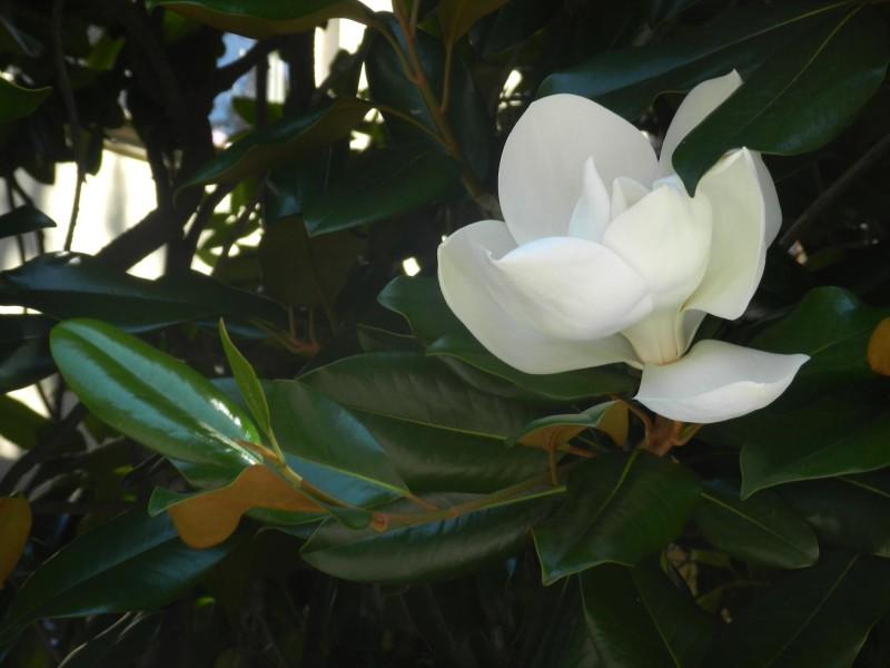 მაგნოლიას ყვავილი