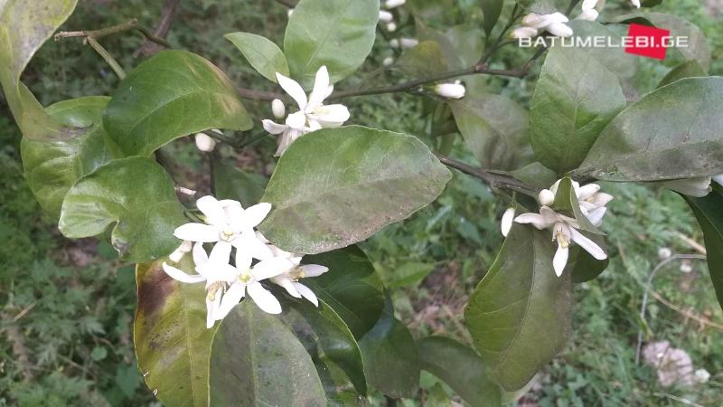 ციტრუსის ყვავილობა აჭარაში [ფოტო]