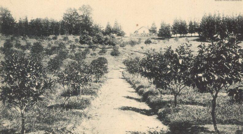 Как появились мандарины в Аджарии
