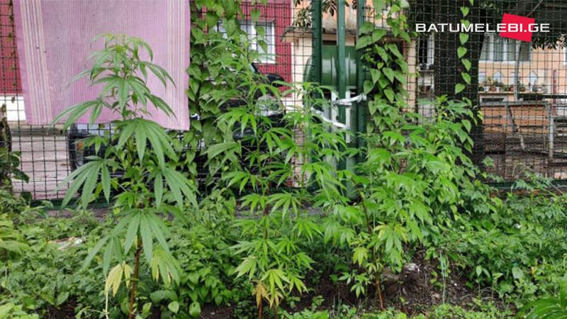 В школьном дворе батумской школы нашли растущую марихуану